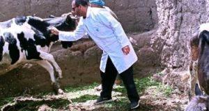 تحصين 85% من رؤوس الماشية للقضاء على مرض الجلد العقدى بقنا