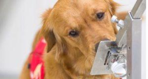 دراسة توضح دقة 3 أنواع من الكلاب فى شم فيروس كورونا بنسبة تتجاوز 85٪