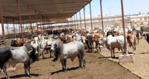 محافظ بورسعيد يعلن جاهزية محطة تسمين القابوطى بطاقة استيعابية 8 آلاف رأس