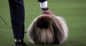 «واسابي»... كلب من فصيلة بيكينيز يفوز بلقب مسابقة ويستمنستر (صور)